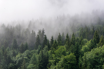 Fog Rolling In Over Lush Evergreen Forest