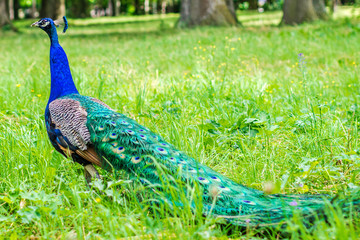 blue peacock walking on green grass in a park