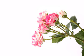 Rose varieties masquerade mother's day flowers in spring tender love isolated white background