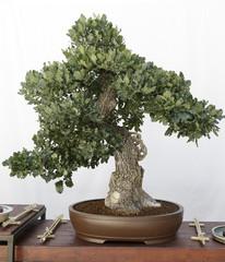 Oak (quercus) bonsai on a wooden table