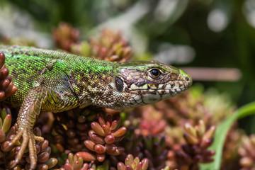 Lizard resting in the sunshine