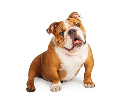 Cheerful English Bulldog Smiling While Sitting