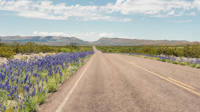 Bluebells, Big Bend National Park, TX
