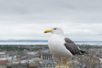 Seagull and Edinburgh city view in the background