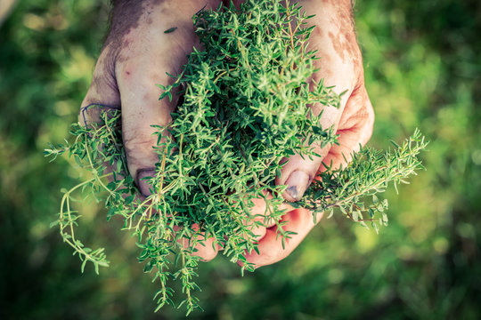 Fresh thyme in hands