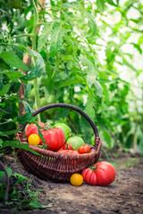 Various tomatoes in wicker basket