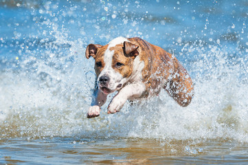 American staffordshire terrier dog running in the water with a lot of splashing