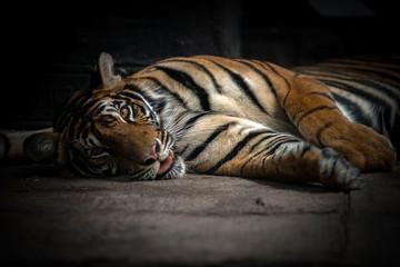 bengal tiger sleeping