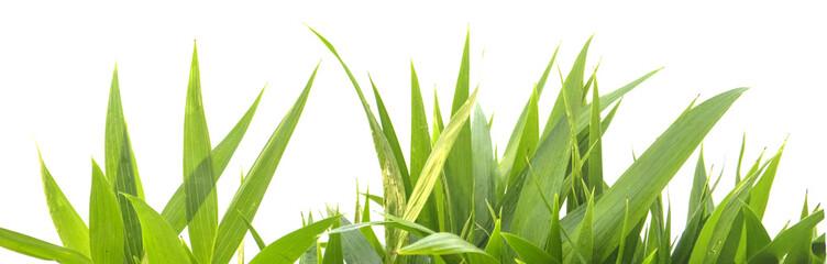 feuilles de jeunes palmiers sur un fond blanc