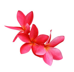 frangipani (plumeria) flowers on white background