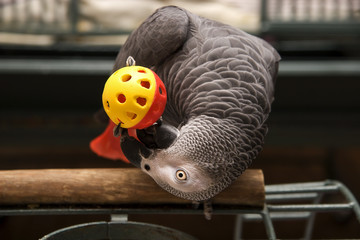 African Grey Parrot Playing with a Ball Toy
