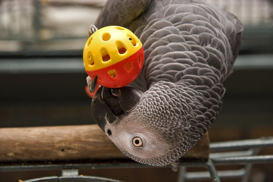 African Grey Parrot Playing with a Toy