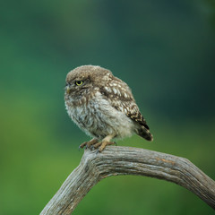 Little Owl (Athene noctua) North Yorkshire, England.