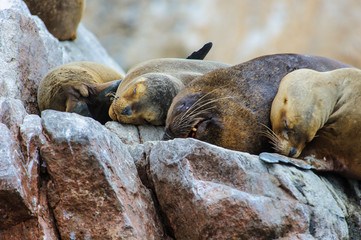 Group of South American sea lions sleep over the rock in Ballestas Islands, Peru, South America