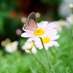 Butterfly feeding on little daisy flower