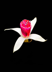 Fuchsia flower, isolated, close up