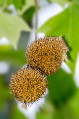 Fruits of Norway Maple, Acer platanoides