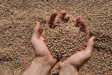 Fototapeta Manciata di grano obraz