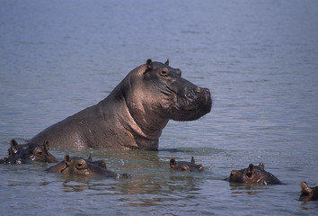 Ippopotamo - Hippopotamus (Hippopotamus amphibius) nel fiume Rufiji del Selous Game Reserve in Tanzania