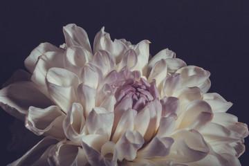 Big dahlia blossom