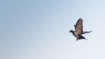 freedom of pigeonos