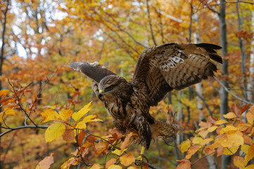 Hawk in the autumn forest