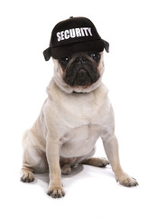 guard dog pug