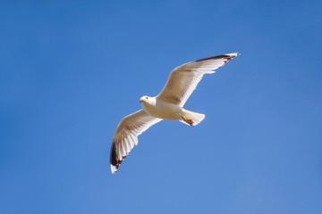 Möwe im Flug vor blauem Himmel
