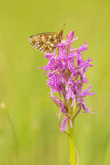 Small pearl-bordered fritillary, Boloria selene resting on orchid