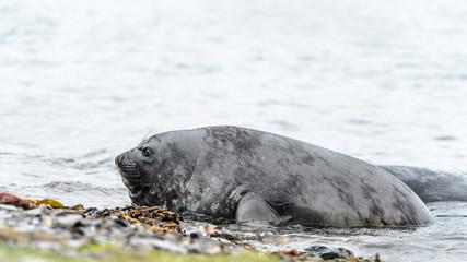 South american sealion tries to reach coast.
