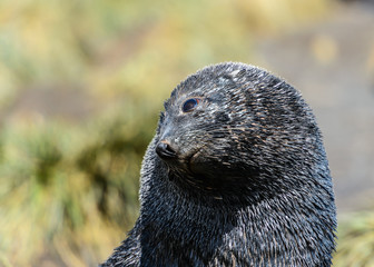 Atlantic fur seal lays and tries to sleep. The eyes are sad.