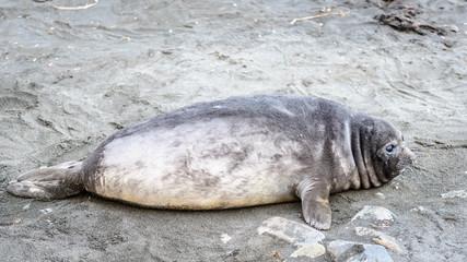 Poor little seal