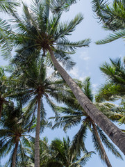 Tall coconut trees with bright sunlight on blue sky background.