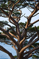 The image of pine at dawn close-up.