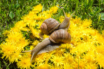 two big snails on a carpet from dandelion flowers