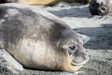 Seal close view in South Georgia