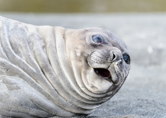 Seal close view in South Georgia