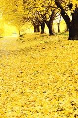 イチョウ並木と落ち葉