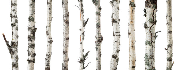 Birch trunks isolated on white background Wall mural