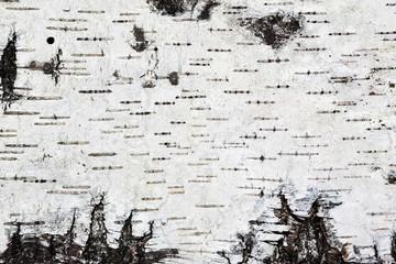 White birch bark background texture Wall mural