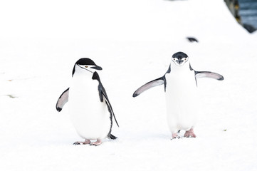Couple of chinstrap penguins in South Shetland Island