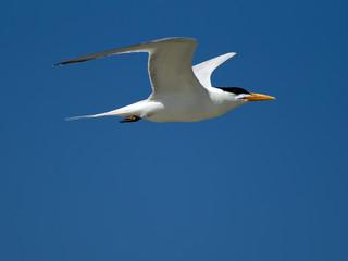 Common tern in blue sky.