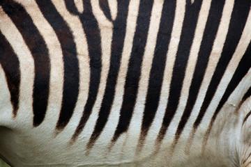 Hartmann's mountain zebra (Equus zebra hartmannae) skin texture.