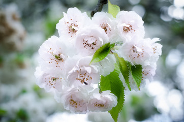 White blossoming cherries. Beautiful spring wallpapers