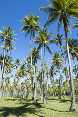 Bright grove of tall palm trees in a plantation on the Coconut Coast Nordeste Bahia Brasil