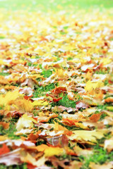 Autumnum golden maple leaves on the ground