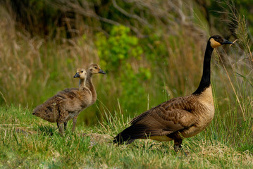 Canada geese are walking on the road