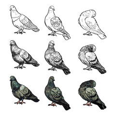 Set of pigeons in three pose and styles