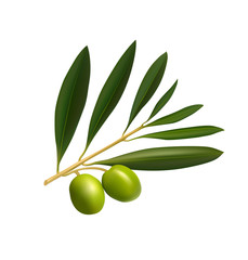 Olive tree branch on white background. Vector illustration