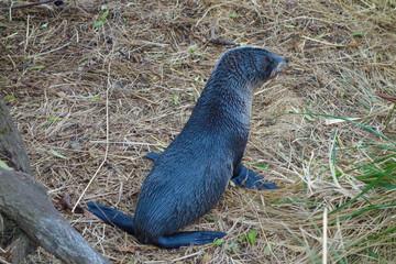 Seal mammal
